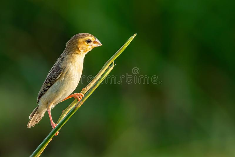 Female Asian Golden Weaver perching on perch, looking into a distance stock photography