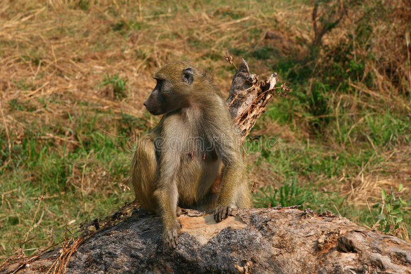 Female Baboon Royalty Free Stock Images
