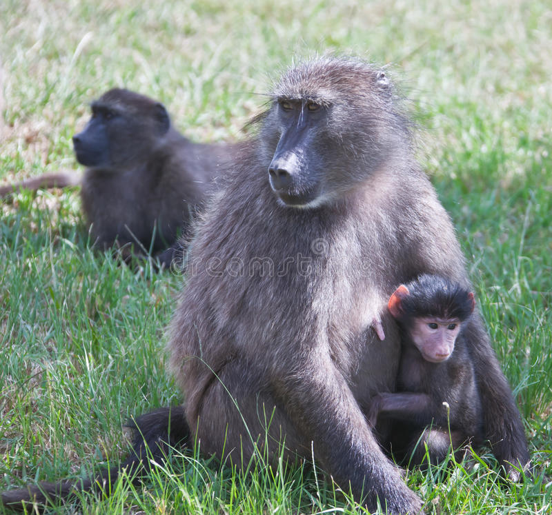 Female baboon Chashma with baby on the grass. South Africa, royalty free stock photography