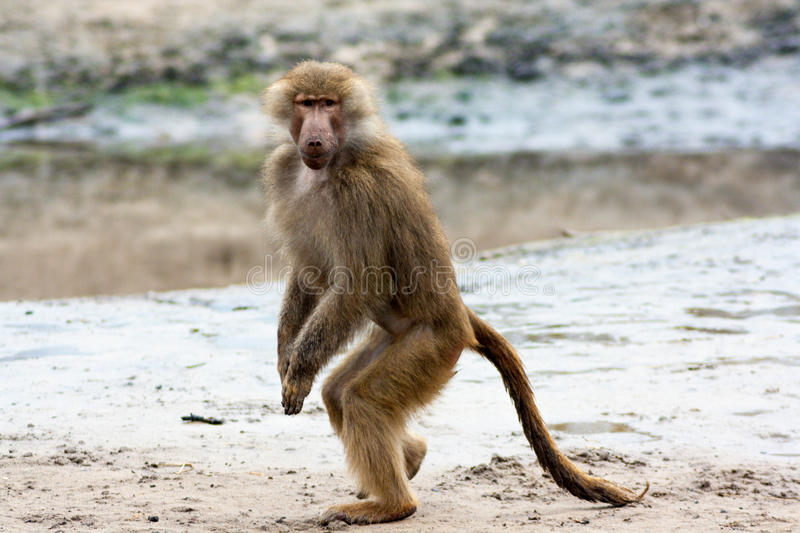 Female baboon posing. Female hamadryas baboon posing for the camera, front view stock photos