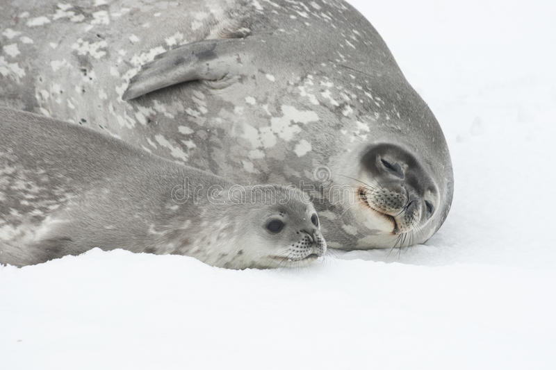 Female and baby Weddell seal lying on the ice of Antarctica. stock images