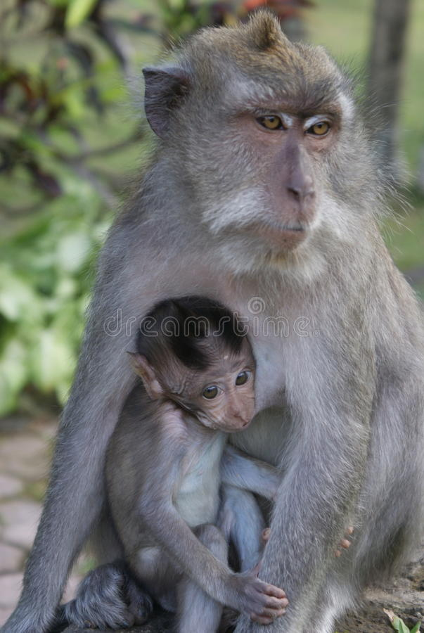 Female Balinese macaque with her baby stock photos