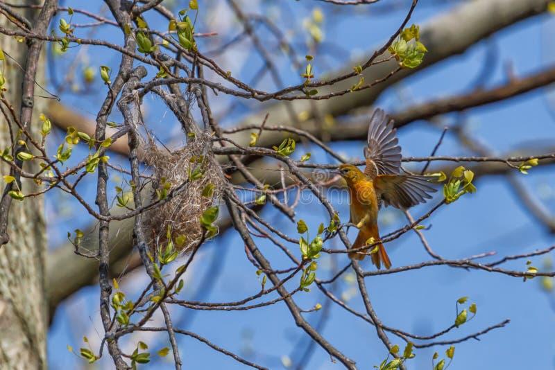 Female Baltimore Oriole die een mand-nest weeft stock afbeelding