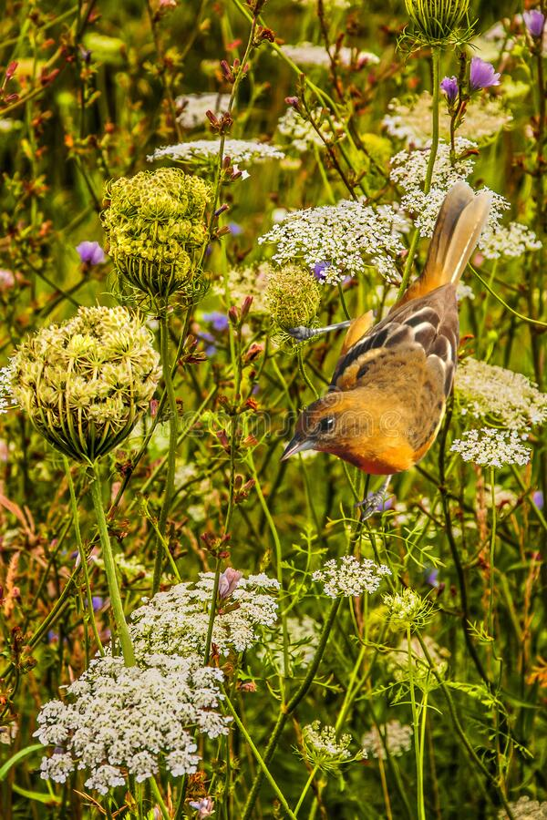 Female Baltimore Oriole in Wild Flowers royalty free stock photos