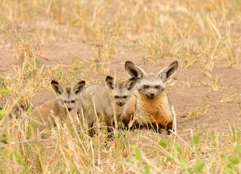 African female Bat-eared fox with kits royalty free stock image