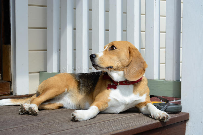 Female beagle dog. Female beagle resting on a Wooden porch of the house royalty free stock image