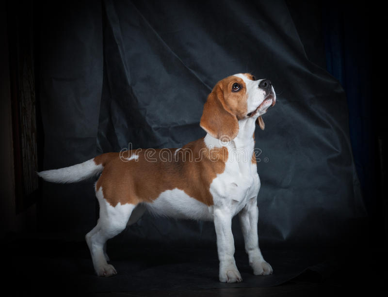 Female beagle girl royalty free stock photo