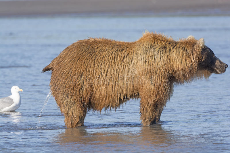 Female Bear Peeing in the Estuary. Of Hallo Bay in Katmai National Park in Alaska stock image