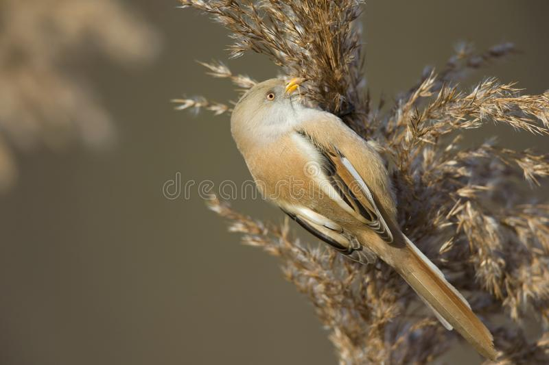 A female Bearded reedling perched in the cold morning sun foraging in the reeds. A female Bearded reedling Panurus biarmicus perched in the cold morning sun stock images