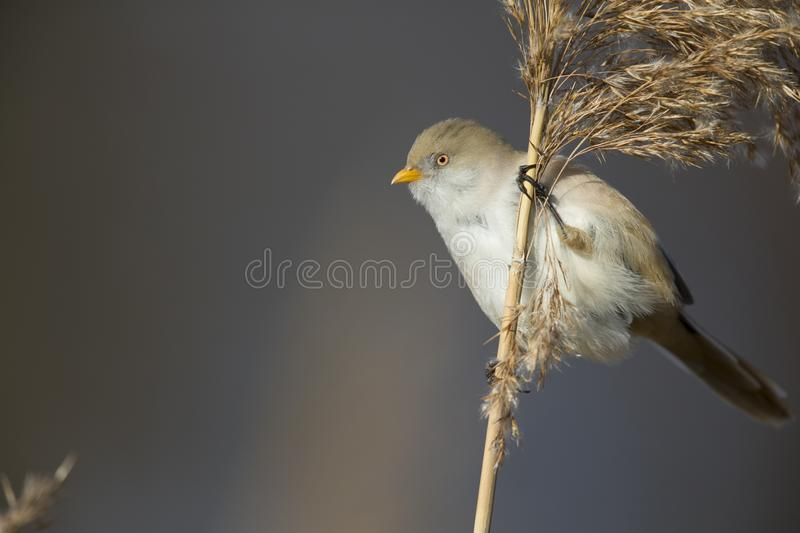A female Bearded reedling perched in the cold morning sun foraging in the reeds. A female Bearded reedling Panurus biarmicus perched in the cold morning sun royalty free stock images