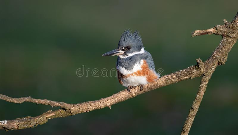 A Female Belted Kingfisher Portrait. In Pennsylvania stock photos