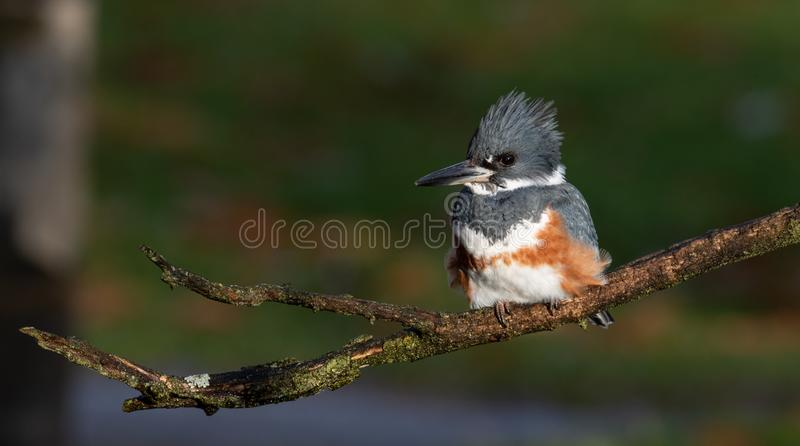 A Female Belted Kingfisher Portrait. In Pennsylvania royalty free stock images