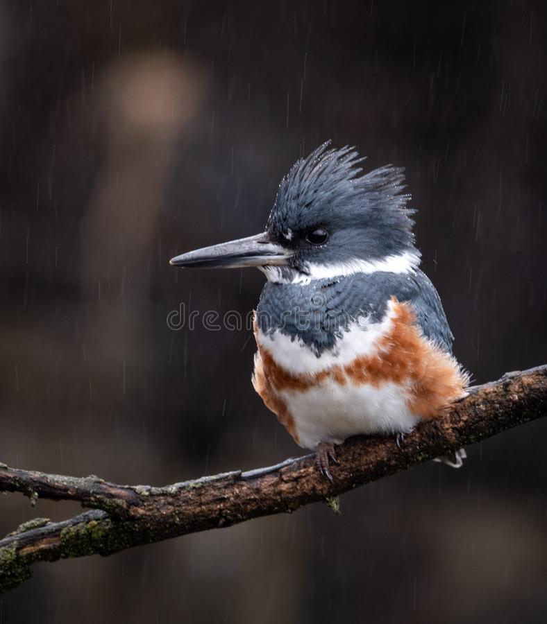 A Female Belted Kingfisher Portrait. In Pennsylvania stock image