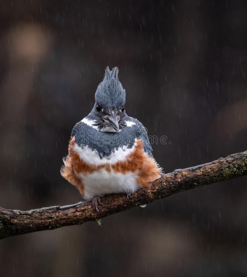A Female Belted Kingfisher Portrait. In Pennsylvania stock photo