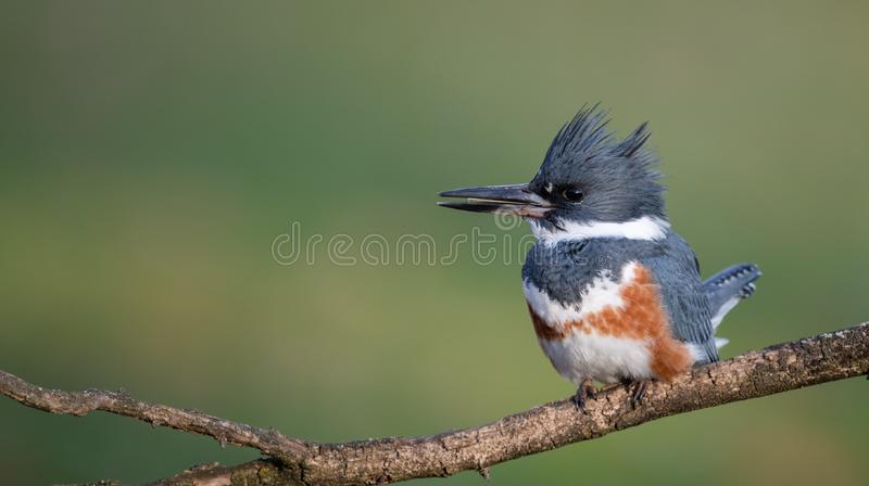 A Female Belted Kingfisher Portrait. In Pennsylvania royalty free stock photos