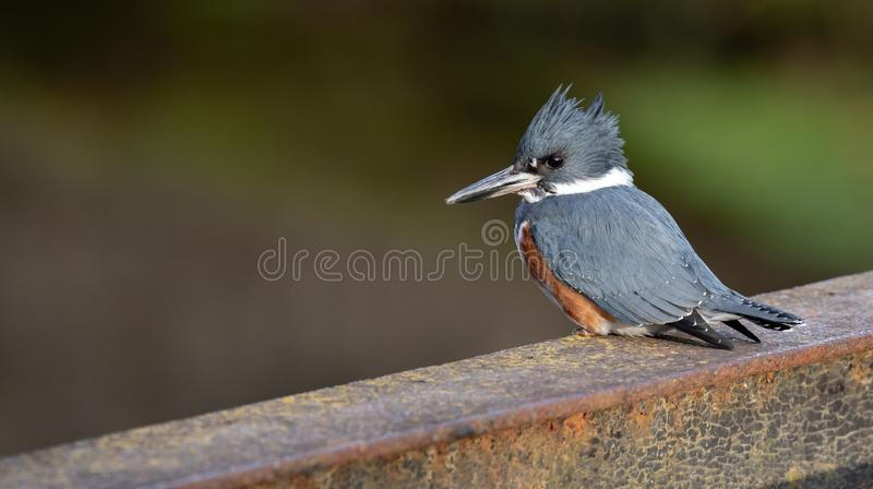 A Female Belted Kingfisher Portrait. In Pennsylvania royalty free stock photography