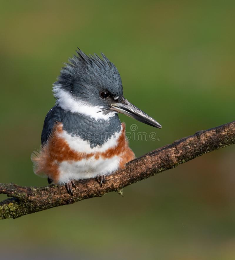 A Female Belted Kingfisher Portrait. In Pennsylvania stock images