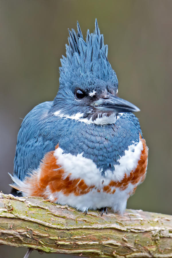 Belted Kingfisher. Female Belted Kingfisher Sitting on a branch stock photo