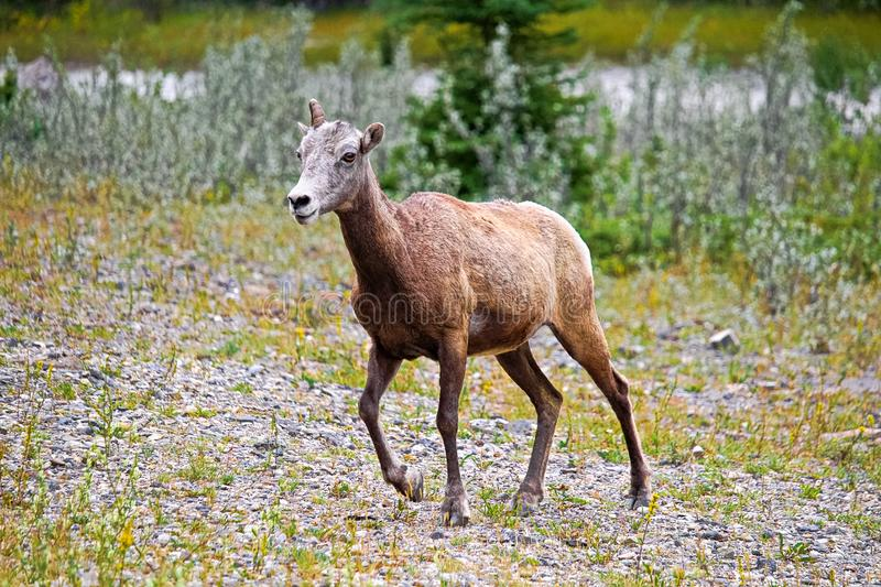 A female bighorn sheep walks on rocky ground.  royalty free stock image