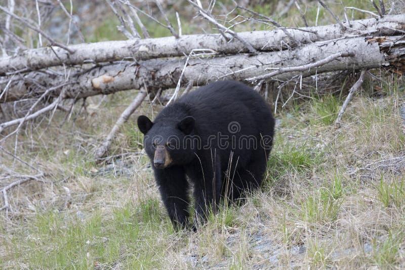 Female Black Bear in the springtime. stock photos