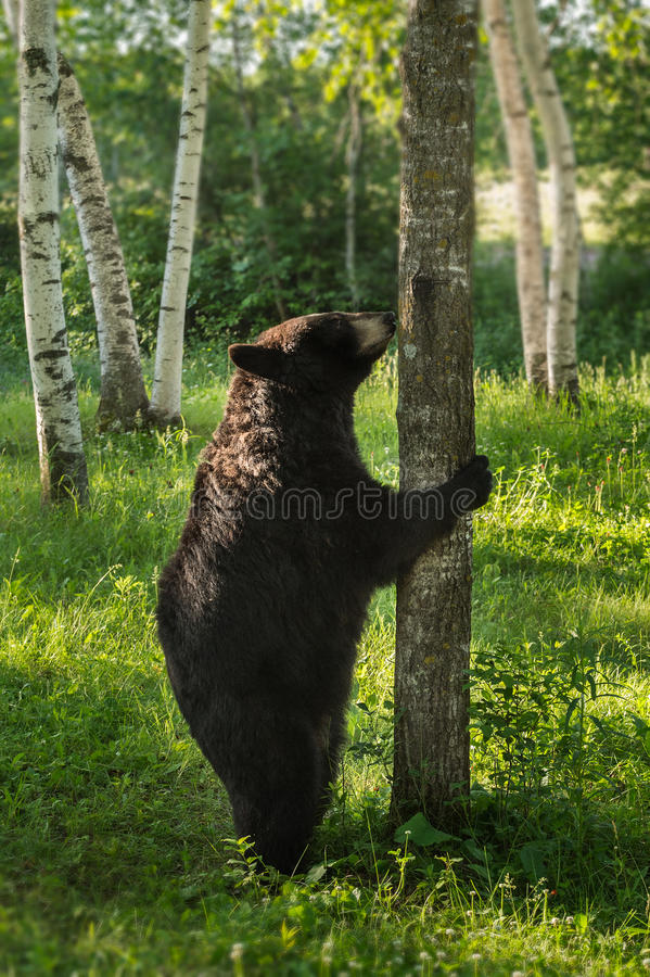 Free Female Black Bear (Ursus Americanus) Stands To Sniff Tree Royalty Free Stock Image - 59481796
