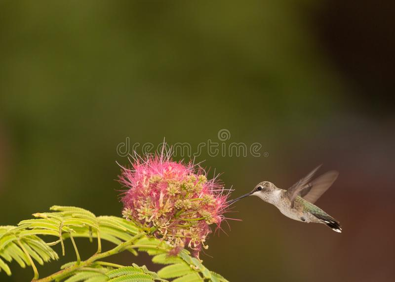Female black chinned hummingbird and mimosa flower stock photography