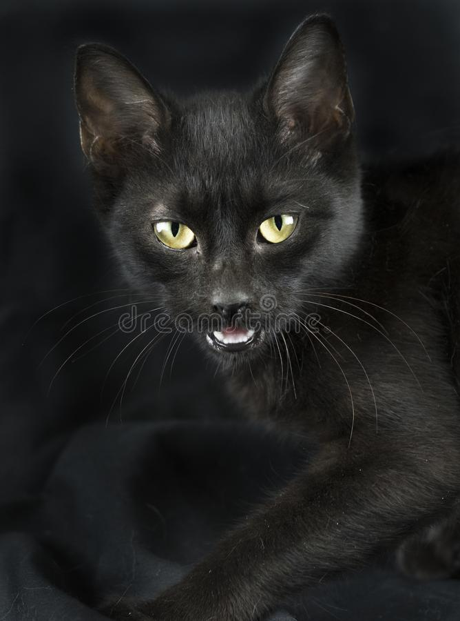 Scary black cat. Female black domestic kitten with yellow eyes on black studio background. Hissing cat, meow. In Western history, black cats have typically been royalty free stock image
