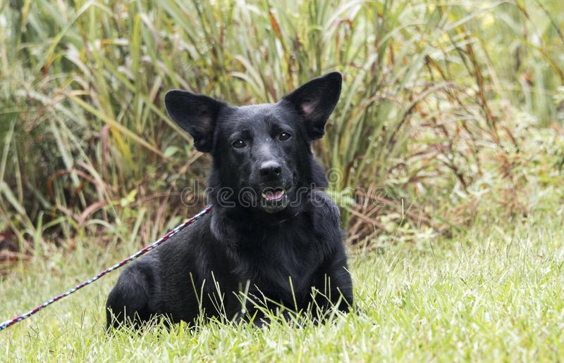 Black German Shepherd mix dog laying down stock image