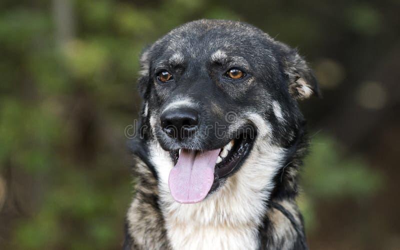 Young Black and German Shepherd Anatolian Shepherd mixed breed dog royalty free stock photography