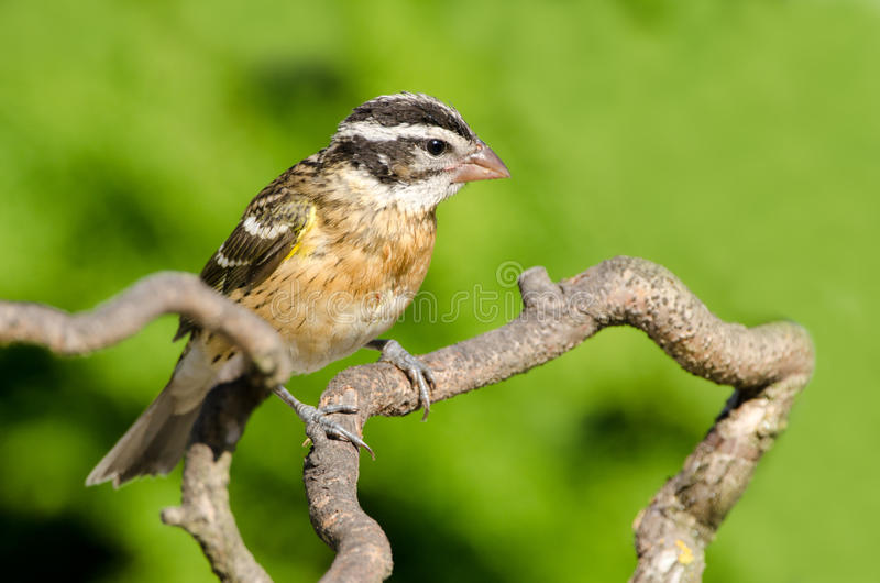 Female black-headed grosbeak perched on a branch, Canada. Female black-headed grosbeak perched on a branch, Victoria, Canada royalty free stock images