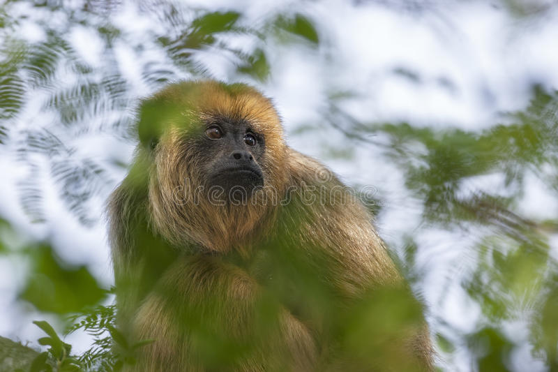 Female of black howler monkey stock photo