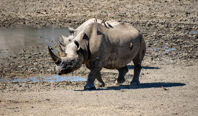 Female Black Rhino. A female Black Rhino in Southern African savanna royalty free stock images