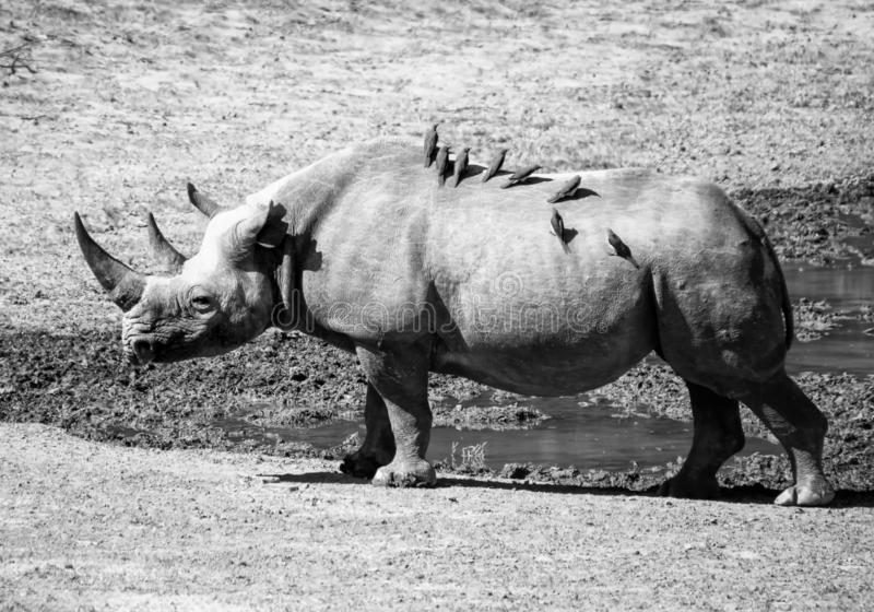 Female Black Rhino. A female Black Rhino in Southern African savanna stock images