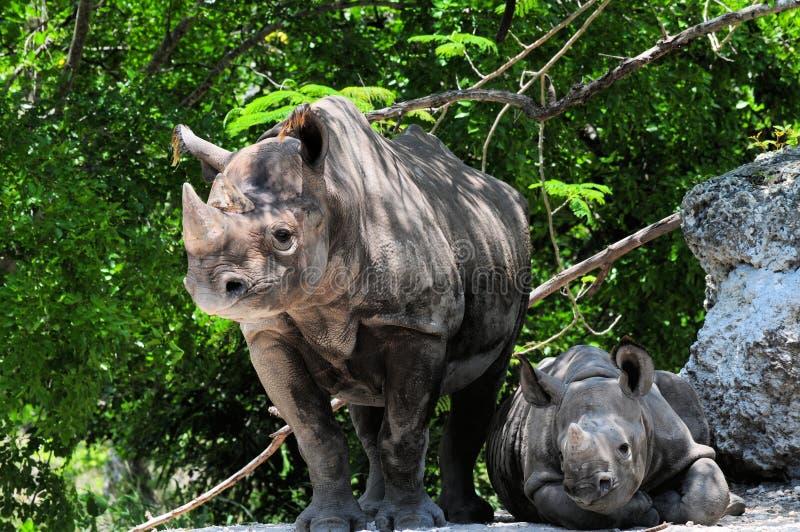 Download Female Black Rhinocero & Baby Stock Photo - Image: 25921360