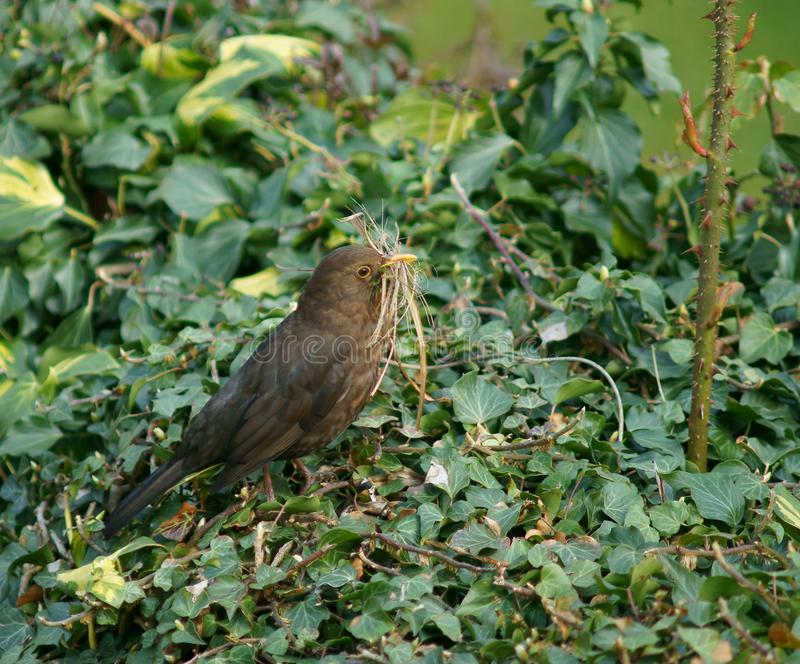 Female Blackbird Collecting Nesting Material. A Female Blackbird Collecting Nesting Material in Spring stock images