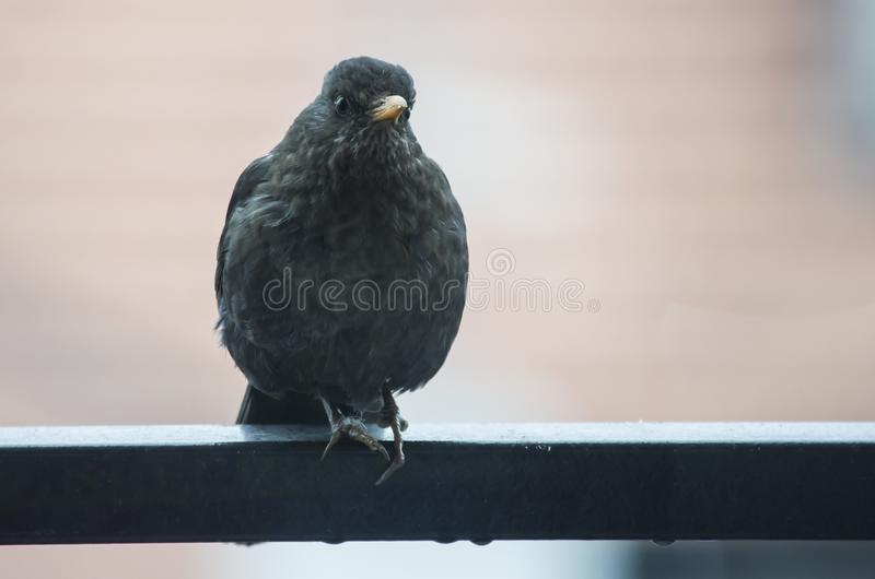 Blackbird female in observation. Female blackbird in observation posed on a railing during a spring day stock photos