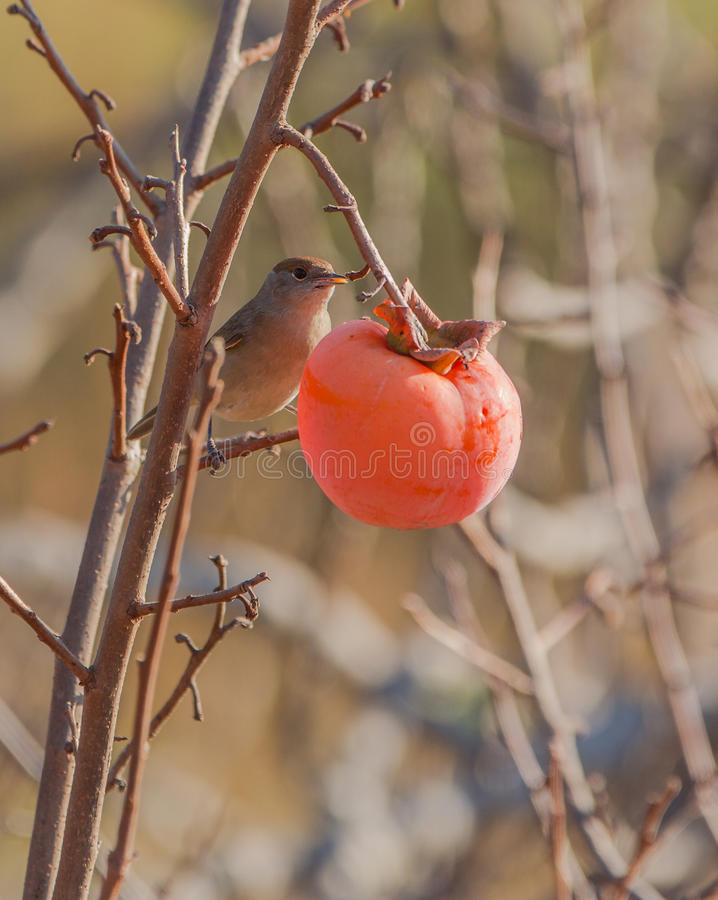 Free Female Blackcap Feeds On A Kaki Fruit Royalty Free Stock Image - 37420976