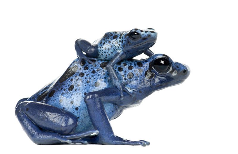 Female Blue and Black Poison Dart Frog with young royalty free stock photography