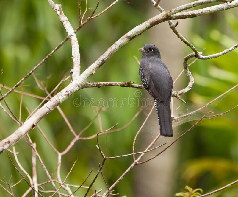 Download A Female Blue-crowned Trogon Stock Photo - Image: 20033228