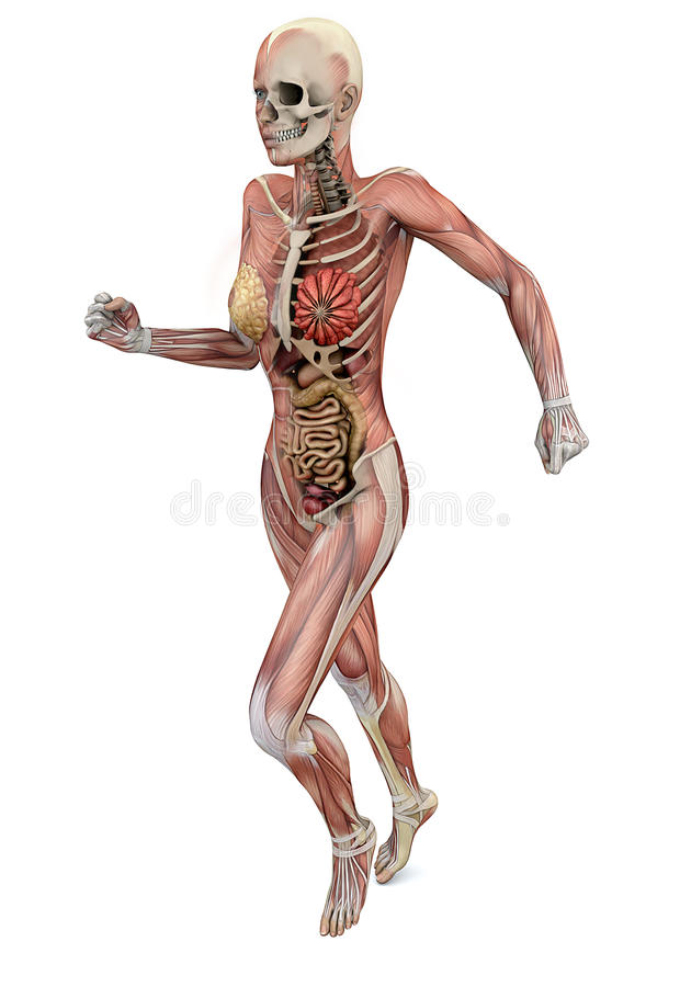 Female Body With Skeletal Muscles And Organs Stock Illustration ...