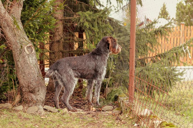 Female bohemian wire looking out for her owner or some people come on road. Adorable puppy stands at attention near by fence stock photos