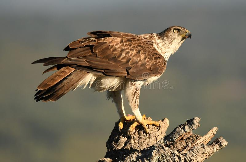Female Bonelli`s eagle perched with its prey between the claws stock photography