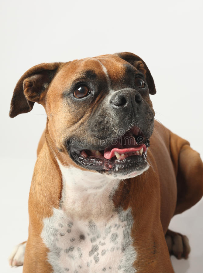 Download Female Boxer Canine Royalty Free Stock Image - Image: 13498426