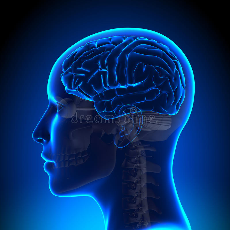Female Brain Anatomy Blank stock illustration
