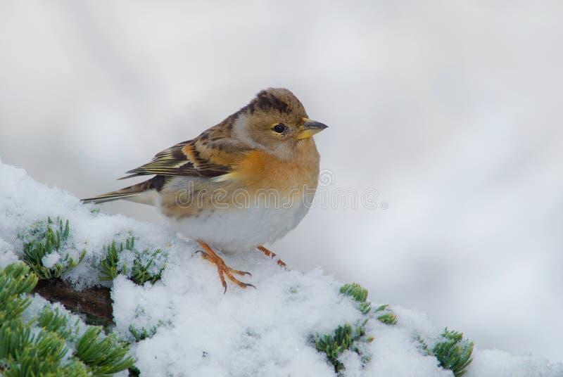 Female brambling sitting on a snowy cedar branch royalty free stock image