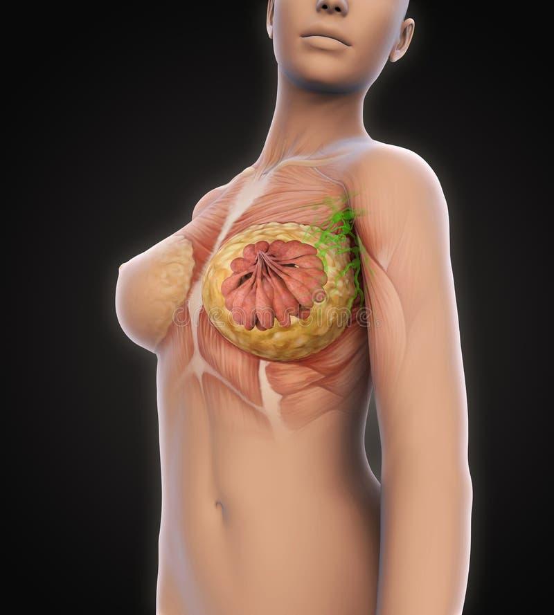 Female Breast Anatomy Stock Illustration Illustration Of Health
