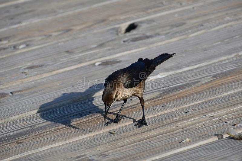 Brewer`s Blackbird - East Coast Atlantic Ocean bird life. This female Brewer`s blackbird sits on the pier looking for a free lunch. On Tybee Island, Georgia near stock images