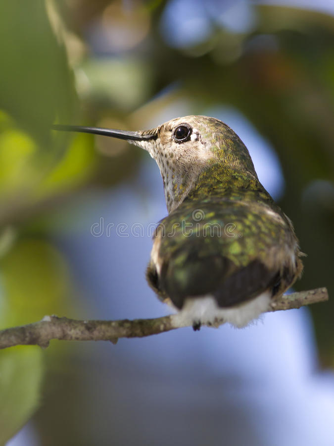 Download Female Broad Tailed Hummingbird Stock Image - Image: 18927083