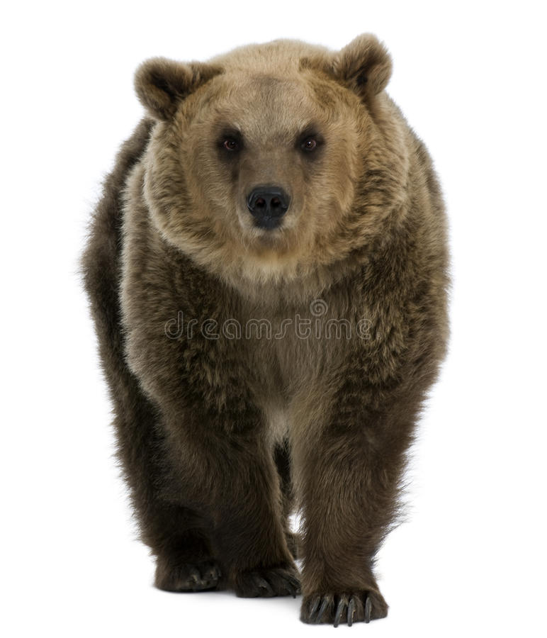 Free Female Brown Bear, 8 Years Old, Walking Royalty Free Stock Photos - 14847308