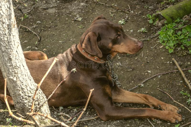 Female brown Doberman with uncircumcised ears on a leash, lying in the garden on the ground near the tree trunk. Young female brown Doberman with uncircumcised royalty free stock images